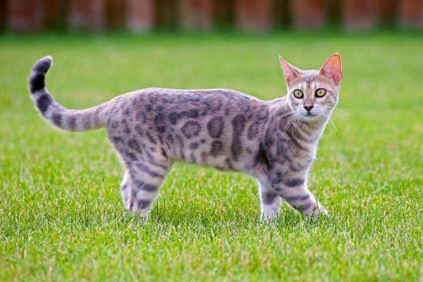 Mèo Bengal giá bao nhiêu? Đặc điểm, tính cách và cách chăm sóc - 5