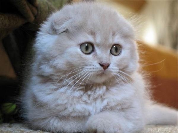 Mèo tai cụp Scottish Fold - Giá bán, đặc điểm và cách nuôi tốt nhất - 10