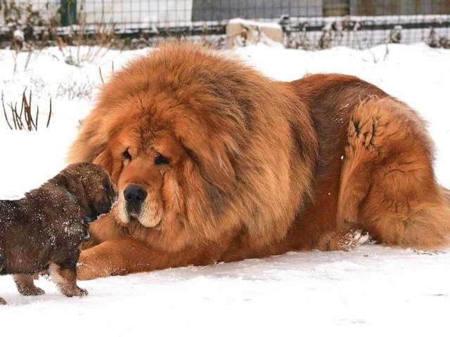 Chó ngao Tây Tạng - Đặc điểm, nguồn gốc, cách nuôi và huấn luyện