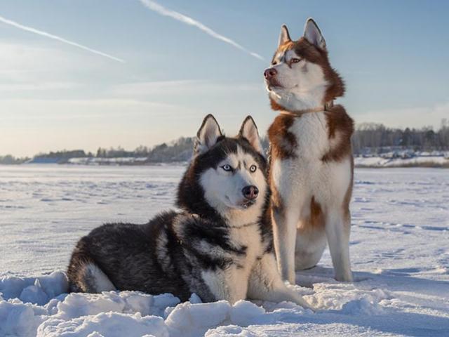 Chó Siberian Husky: những thông tin cần biết và giá bán