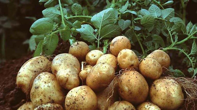 11 tác dụng của khoai tây và những bất lợi cần lưu ý - 3