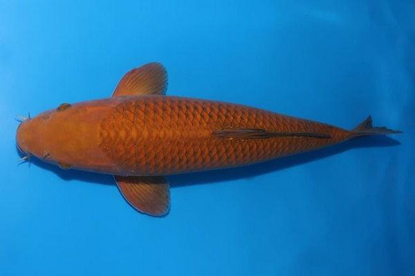 Cá Koi giá bao nhiêu và cách nuôi, chăm sóc tốt nhất - 13