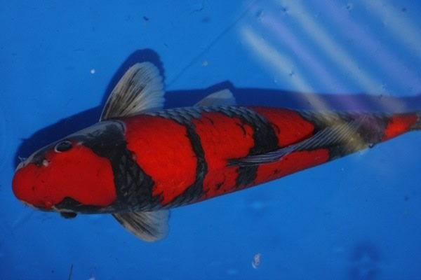 Cá Koi giá bao nhiêu và cách nuôi, chăm sóc tốt nhất - 17