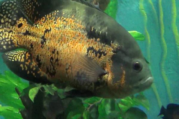 Cá Tai Tượng có những loại nào, ý nghĩa và cách nuôi cá đẹp - 4