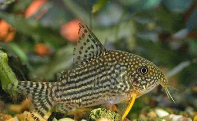 Cá lau kiếng có ăn được không và tại sao không nên nuôi loại cá này? - 8
