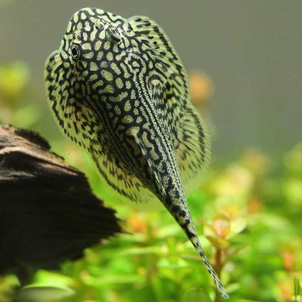 Cá lau kiếng có ăn được không và tại sao không nên nuôi loại cá này? - 6