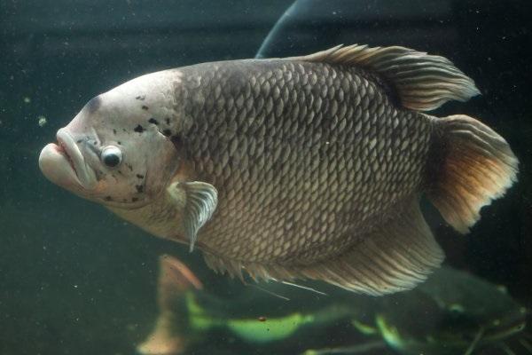 Cá Tai Tượng có những loại nào, ý nghĩa và cách nuôi cá đẹp - 3