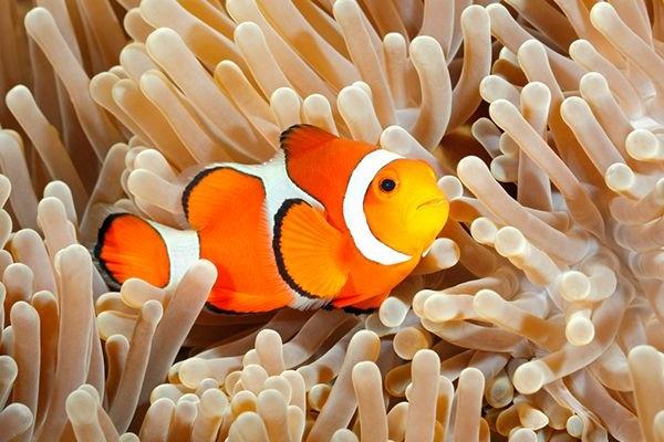Cá Hề - Đặc điểm, tập tính, giá bán và cách nuôi cá khỏe - 1