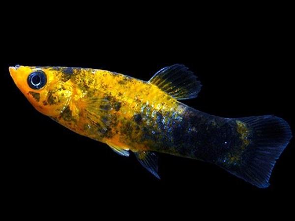 Cá Bình Tích Trân Châu có những loại nào và cách nuôi cá khỏe, đẹp - 11