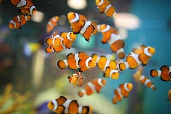 Cá Hề - Đặc điểm, tập tính, giá bán và cách nuôi cá khỏe - 5
