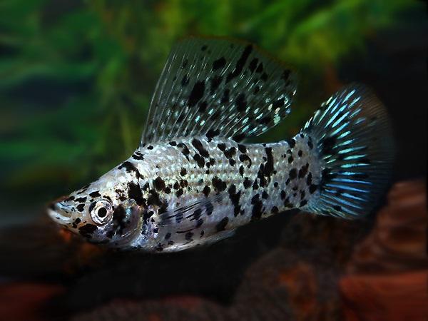 Cá Bình Tích Trân Châu có những loại nào và cách nuôi cá khỏe, đẹp - 10