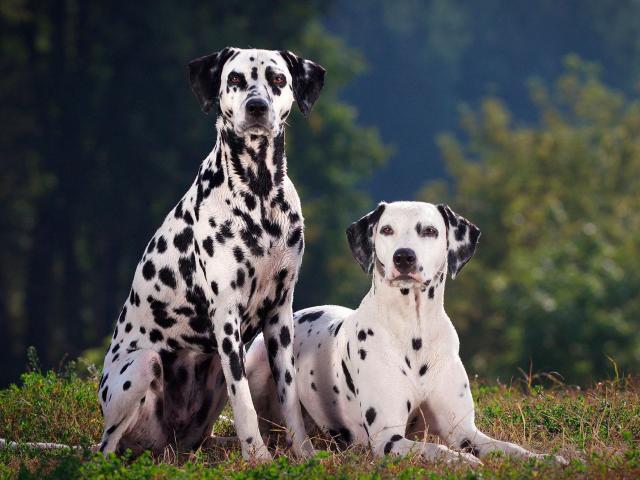 Chó đốm: Những bệnh thường gặp khi nuôi và các phòng tránh
