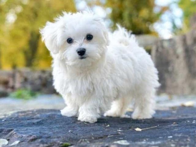 13 giống chó lông xù tuyệt đẹp, đáng yêu và thân thiện