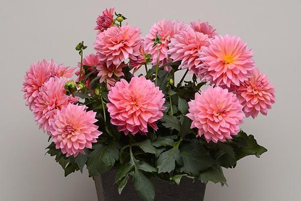 Hoa Thược Dược - Ý nghĩa, cách trồng và chăm sóc hoa nở vào dịp Tết - 6