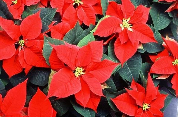 Ý nghĩa hoa Trạng Nguyên và cách trồng, chăm sóc đúng nhất - 1
