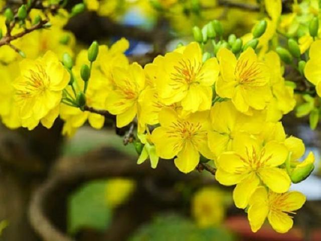Ý nghĩa hoa Mai Vàng, cách trồng và chăm sóc hoa nở đẹp vào dịp tết