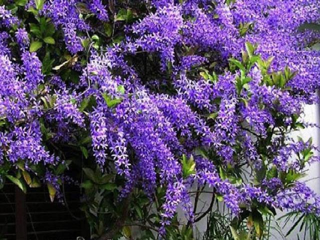 Hoa Mai xanh - Đặc điểm, cách trồng và chăm sóc cây mau ra hoa