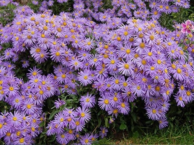 Hoa Thạch Thảo - Đặc điểm, ý nghĩa, cách trồng và cách cắm hoa đẹp