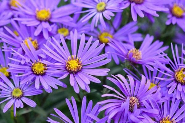 Hoa Thạch Thảo - Đặc điểm, ý nghĩa, cách trồng và cách cắm hoa đẹp - 1