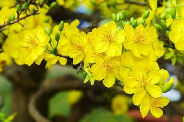 Ý nghĩa hoa Mai Vàng, cách trồng và chăm sóc hoa nở đẹp vào dịp tết - 3