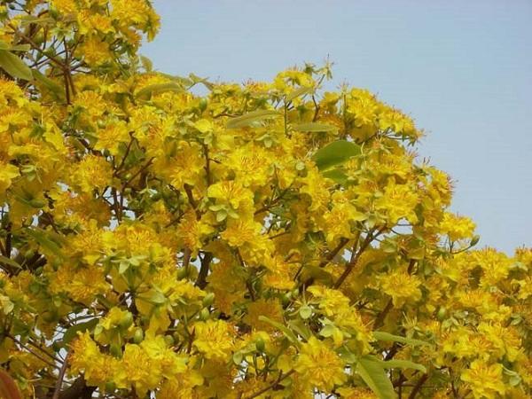 Ý nghĩa hoa Mai Vàng, cách trồng và chăm sóc hoa nở đẹp vào dịp tết - 2