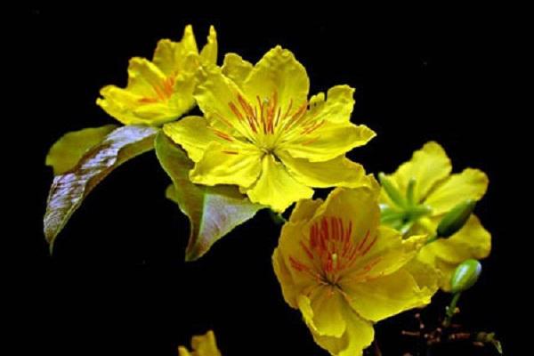 Ý nghĩa hoa Mai Vàng, cách trồng và chăm sóc hoa nở đẹp vào dịp tết - 10