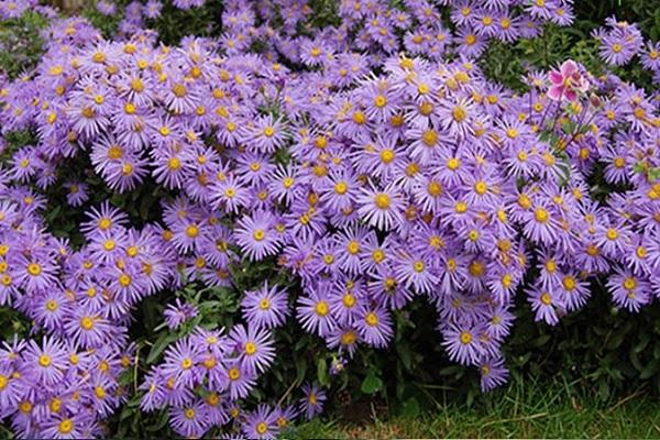 Hoa Thạch Thảo - Đặc điểm, ý nghĩa, cách trồng và cách cắm hoa đẹp - 3