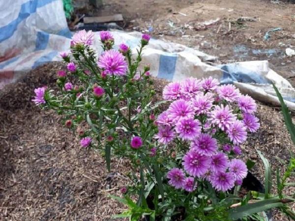 Hoa Thạch Thảo - Đặc điểm, ý nghĩa, cách trồng và cách cắm hoa đẹp - 5