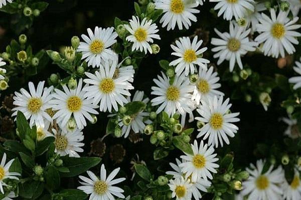 Hoa Thạch Thảo - Đặc điểm, ý nghĩa, cách trồng và cách cắm hoa đẹp - 4