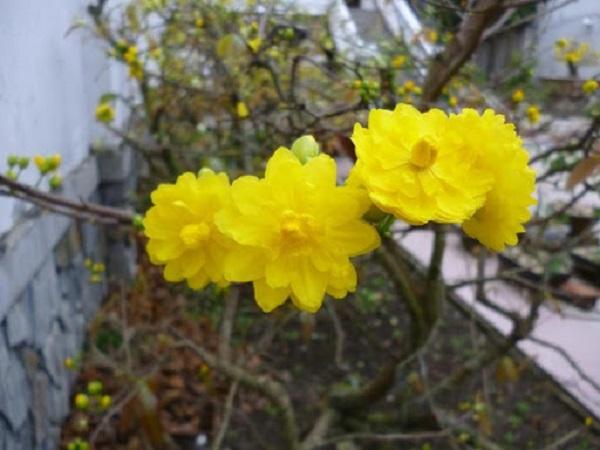 Ý nghĩa hoa Mai Vàng, cách trồng và chăm sóc hoa nở đẹp vào dịp tết - 13