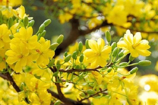 Ý nghĩa hoa Mai Vàng, cách trồng và chăm sóc hoa nở đẹp vào dịp tết - 12