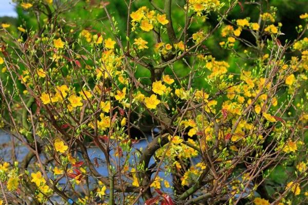 Ý nghĩa hoa Mai Vàng, cách trồng và chăm sóc hoa nở đẹp vào dịp tết - 14