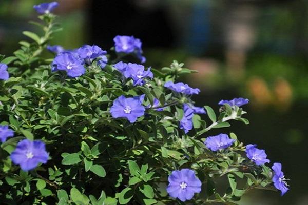 Hoa Thanh Tú - Đặc điểm, ý nghĩa và cách trồng cho hoa nở tuyệt đẹp - 3
