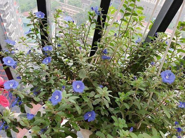 Hoa Thanh Tú - Đặc điểm, ý nghĩa và cách trồng cho hoa nở tuyệt đẹp - 4