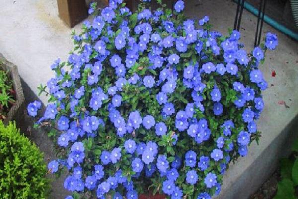 Hoa Thanh Tú - Đặc điểm, ý nghĩa và cách trồng cho hoa nở tuyệt đẹp - 5