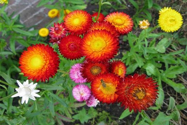 Hoa Bất Tử: Đặc điểm, ý nghĩa, cách cắm hoa đẹp - 1
