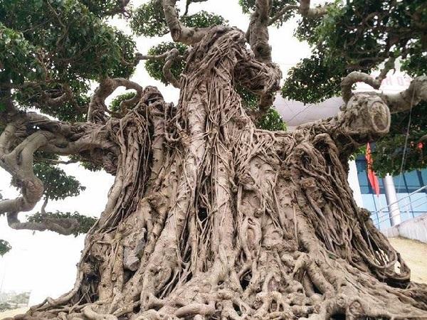 Các loại cây Sanh cảnh đẹp, ý nghĩa và cách trồng giúp tạo dáng đẹp - 4