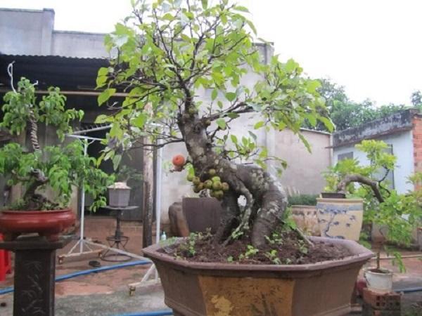 Cây Sung có ý nghĩa gì, có nên trồng trước nhà hay không? - 6