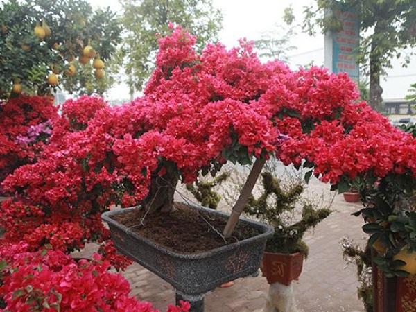 Cách trồng cây Hoa Giấy đẹp cho ra hoa quanh năm - 4