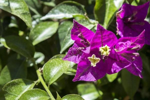 Cách trồng cây Hoa Giấy đẹp cho ra hoa quanh năm - 5