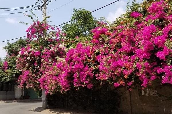 Cách trồng cây Hoa Giấy đẹp cho ra hoa quanh năm - 1