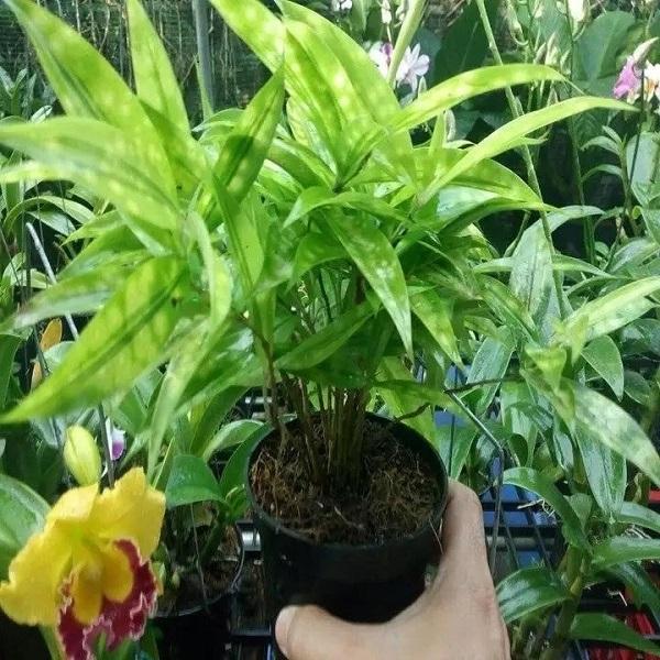 Cây Trúc Nhật hợp mệnh gì? cách trồng và chăm sóc cây đẹp - 5