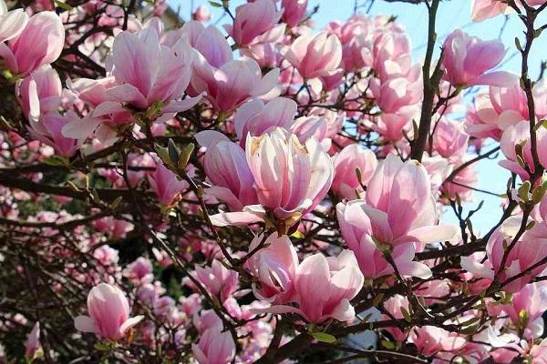 Cây Hoa Mộc Lan - Ý nghĩa và cách trồng giúp hoa nở đẹp - 7