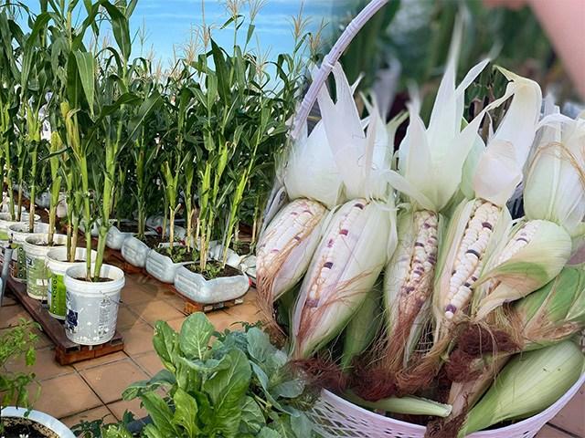 Nữ giám đốc Cần Thơ cẩu 3 tấn đất lên sân thượng trồng ngô, thành quả choáng ngợp