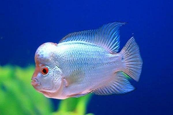Cá La Hán: Nguồn gốc, đặc điểm, các loại đẹp và cách nuôi - 7