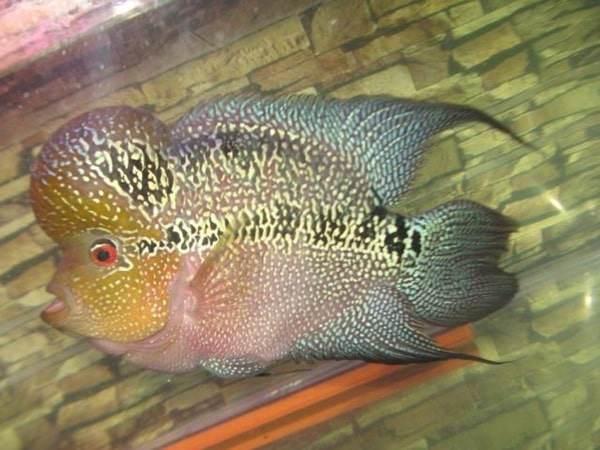 Cá La Hán: Nguồn gốc, đặc điểm, các loại đẹp và cách nuôi - 4