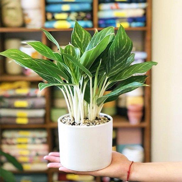 Cây Bạch Mã Hoàng Tử - Ý nghĩa phong thủy, cách trồng và chăm sóc - 3