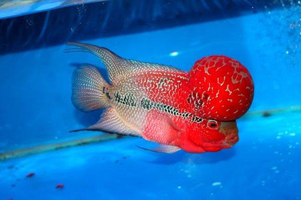 Cá La Hán: Nguồn gốc, đặc điểm, các loại đẹp và cách nuôi - 8