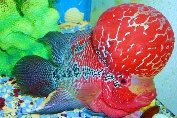 Cá La Hán: Nguồn gốc, đặc điểm, các loại đẹp và cách nuôi - 5