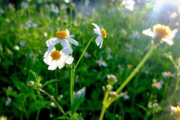 Ý nghĩa hoa Xuyến Chi và những tác dụng tuyệt vời trong đời sống - 1